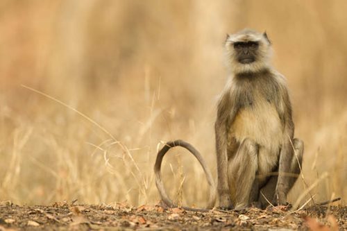 Hanuman Langur in Pench National Park